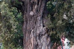 Juniperus chinensis Royalty Free Stock Photo