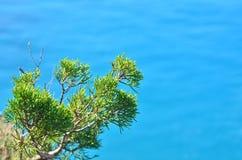 Juniperus chinensis tak op de blauwe overzeese achtergrond Stock Afbeelding