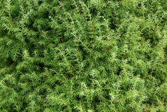 Juniperus Close-up Royalty-vrije Stock Afbeelding