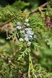 Juniperus communis - женское семя можжевельника Стоковая Фотография RF