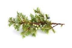 Juniperus communis fotografia stock