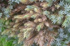Juniperus communis - arbre à feuilles persistantes de genévrier de la maladie Photographie stock libre de droits