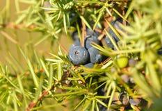 Juniperus communis Royalty Free Stock Image