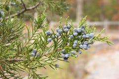 Branch bearing juniper berries. royalty free stock images