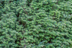 Juniperus communis wall. Juniperus communis or Juniper growing on a wall Stock Photos