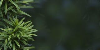 Juniperus conferta ` de Blauwe Stille Oceaan, `-banner voor website royalty-vrije stock foto's