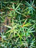 Juniperus de macro doorbladert achtergrond en behang hoog in bovenkant - kwaliteitsdrukken stock fotografie