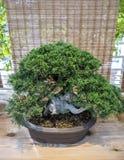 Juniperus dei bonsai chinensis Immagini Stock Libere da Diritti