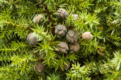 Juniperus drupacea (Syrian Juniper) Stock Images
