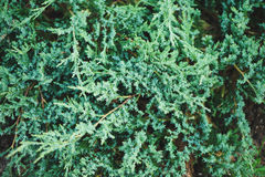 Juniperus horizontalis Agnieszka pattern closeup in summer Stock Images