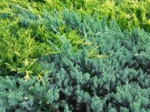 Juniperus horizontalis` Gouden Tapijt ` en Juniperus squamata` Blauw Tapijt ` Stock Foto
