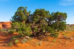 Juniperus, juniper tree in Monument Valley. Navajo Tribal Park on a sunny day of summer, Arizona, USA royalty free stock photos