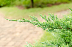 Juniperus leaves. In Queen Sirikit Botanical Gardens Royalty Free Stock Photography