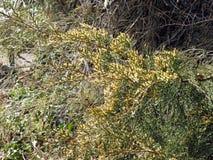 Juniperus pączkuje wczesną wiosną, Chorwacka wieś, 1 Zdjęcia Stock