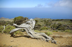 Juniperus phoenicea Lizenzfreie Stockfotografie