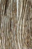 Juniperus Phoenicea Sabina tree trunk texture Royalty Free Stock Photo