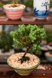 Juniperus Procumbens arkivbild