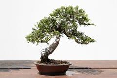 Juniperus sabina bonsai Royalty Free Stock Image