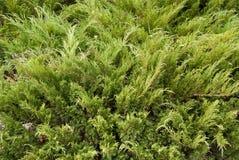 Juniperus sabina Royalty Free Stock Photo