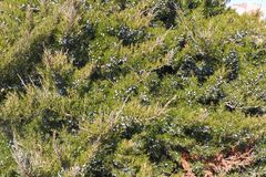 Juniperus sabina, the savin juniper or savin, is a species of juniper native to the mountains of central and southern royalty free stock photo