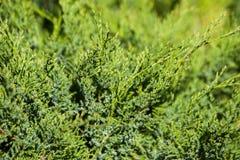 Juniperus sabina tree plant growing in garden. In Estonai Stock Photos