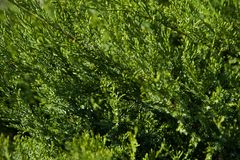 Juniperus sabina tree plant growing in garden. In Estonai Royalty Free Stock Photography