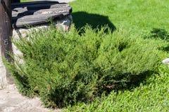 Juniperus sabina tree plant growing in garden. In Estonai Stock Photography