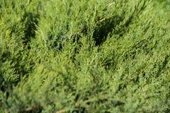 Juniperus sabina tree plant growing in garden. In Estonai Stock Images