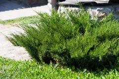 Juniperus sabina tree plant growing in garden. In Estonai Stock Photo