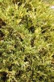 Juniperus Sabina variegated Royalty Free Stock Images