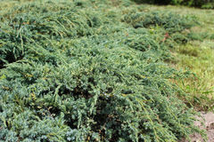 Juniperus squamata Royalty Free Stock Photography