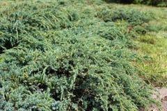 Juniperus squamata Royalty Free Stock Photography