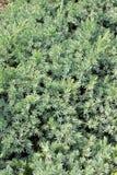 Juniperus squamata Stock Images