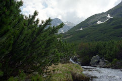 Juniperus and stream. Flood at mountain on spring Stock Images