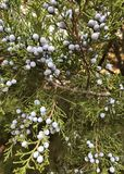 Eastern Red Cedar. Juniperus Virginiana, commonly called Eastern Red Cedar, Eastern Juniper, Pencil Cedar and Aeromatic Cedar. If you`re looking at a female you Stock Image