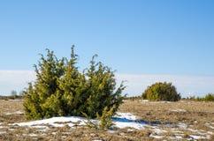 Juniperusbuskar Royaltyfri Foto