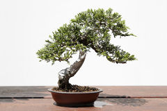 Juniperussabina bonsai Royaltyfri Bild