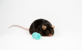 Junk food and obese mouse Royalty Free Stock Image