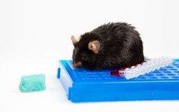Junk food and obese mouse Stock Image