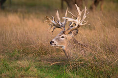 Junk Yard dog. Non-typical whitetail buck bedded down in prairie grass Royalty Free Stock Images