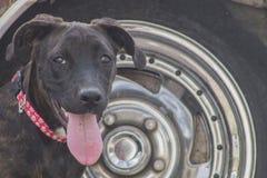 Junk Yard dog Stock Image