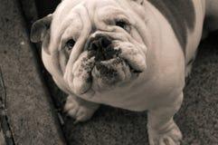 junkyard собаки более средний чем Стоковое Изображение RF