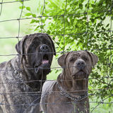 Junkyard dogs behind fenced area Royalty Free Stock Photography