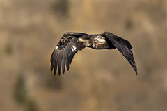 Junnior bald eagle. Royalty Free Stock Photos