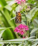 Juno Longwing Butterfly, Dione Juno Imagen de archivo libre de regalías