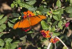 Juno Longwing Butterfly, Dione Juno Foto de archivo