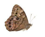 junonia бабочки конского каштана Стоковая Фотография