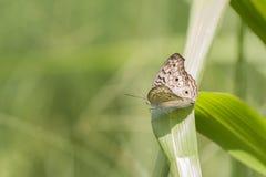 Butterfly, Gray Pasy - Junonia atlites stock image