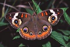 junonia coenia бабочки конского каштана Стоковая Фотография
