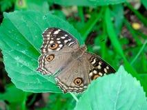 Junonia lemonias lemonias w naturze obrazy royalty free